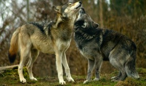 The Story of The Two Wolves